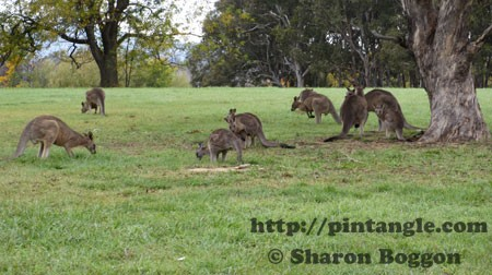 a mob of kangaroos