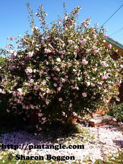 camilia bush