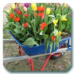 barrow of tulips